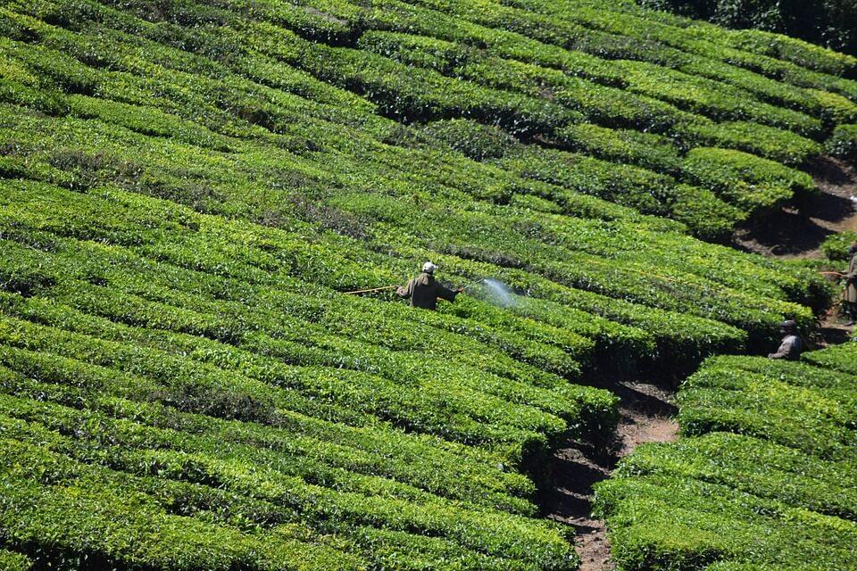 Tee zum abnehmen Plantage